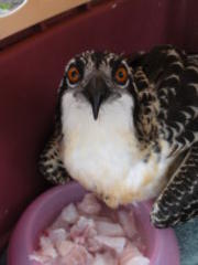 Osprey Casualties Spike In Wake of Tropical Storm Andrea